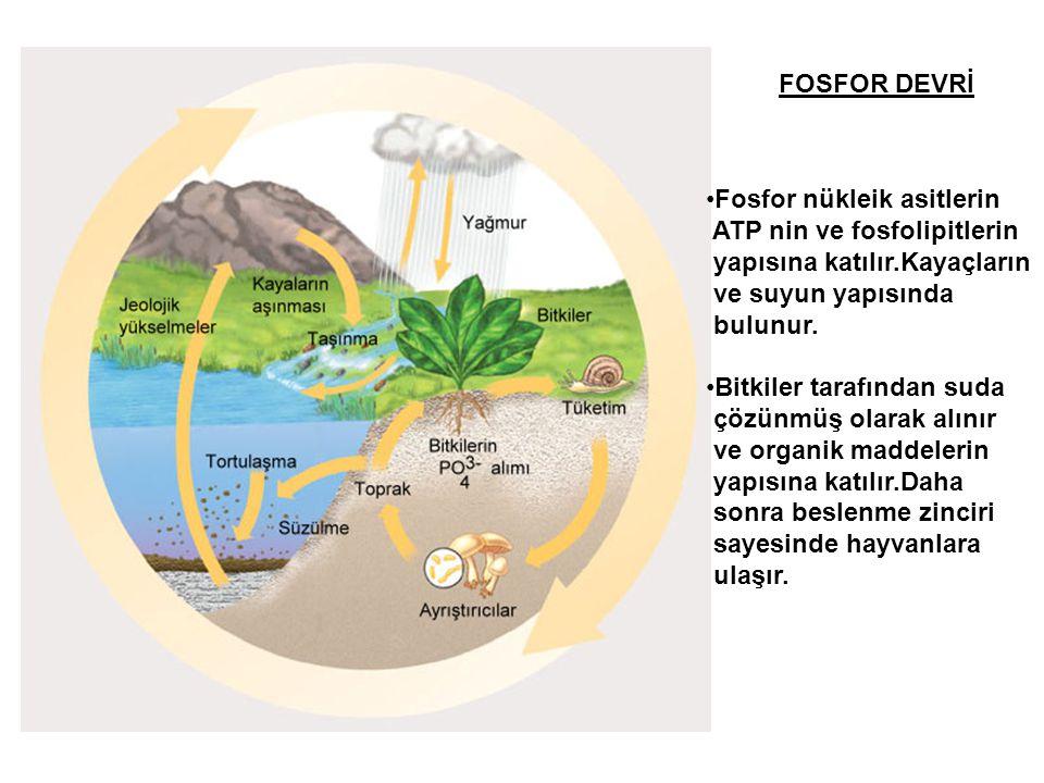 FOSFOR DEVRİ Fosfor nükleik asitlerin. ATP nin ve fosfolipitlerin. yapısına katılır.Kayaçların. ve suyun yapısında.