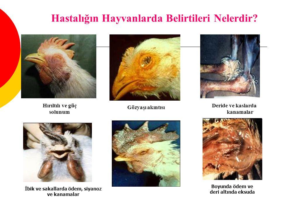 Hastalığın Hayvanlarda Belirtileri Nelerdir
