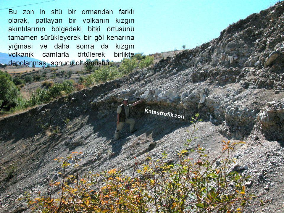 Bu zon in sitü bir ormandan farklı olarak, patlayan bir volkanın kızgın akıntılarının bölgedeki bitki örtüsünü tamamen sürükleyerek bir göl kenarına yığması ve daha sonra da kızgın volkanik camlarla örtülerek birlikte depolanması sonucu oluşmuştur
