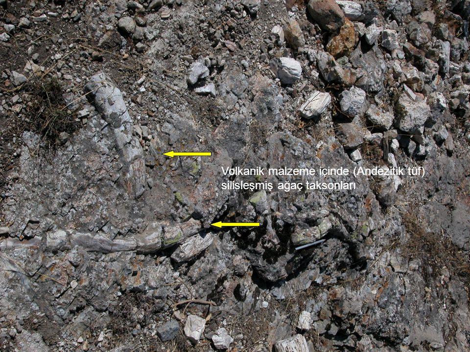 Volkanik malzeme içinde (Andezitik tüf) silisleşmiş ağaç taksonları