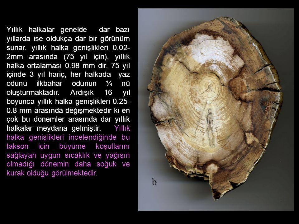 Yıllık halkalar genelde dar bazı yıllarda ise oldukça dar bir görünüm sunar. yıllık halka genişlikleri 0.02- 2mm arasında (75 yıl için), yıllık halka ortalaması 0.98 mm dir. 75 yıl içinde 3 yıl hariç, her halkada yaz odunu ilkbahar odunun ¼ nü oluşturmaktadır. Ardışık 16 yıl boyunca yıllık halka genişlikleri 0.25-0.8 mm arasında değişmektedir ki en çok bu dönemler arasında dar yıllık halkalar meydana gelmiştir. Yıllık halka genişlikleri incelendiğinde bu takson için büyüme koşullarını sağlayan uygun sıcaklık ve yağışın olmadığı dönemin daha soğuk ve kurak olduğu görülmektedir.