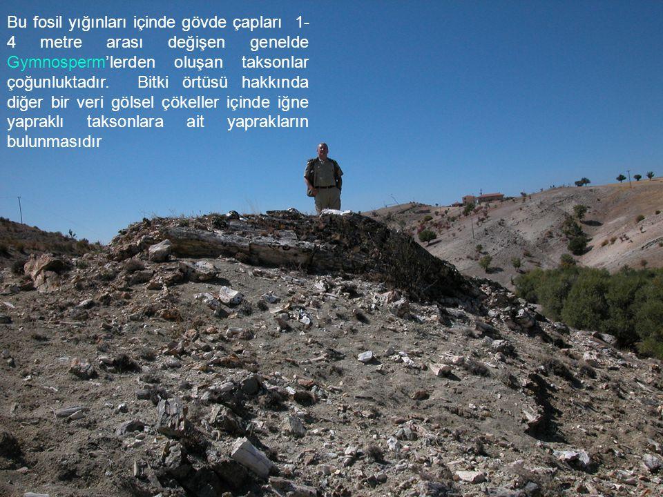Bu fosil yığınları içinde gövde çapları 1-4 metre arası değişen genelde Gymnosperm'lerden oluşan taksonlar çoğunluktadır.