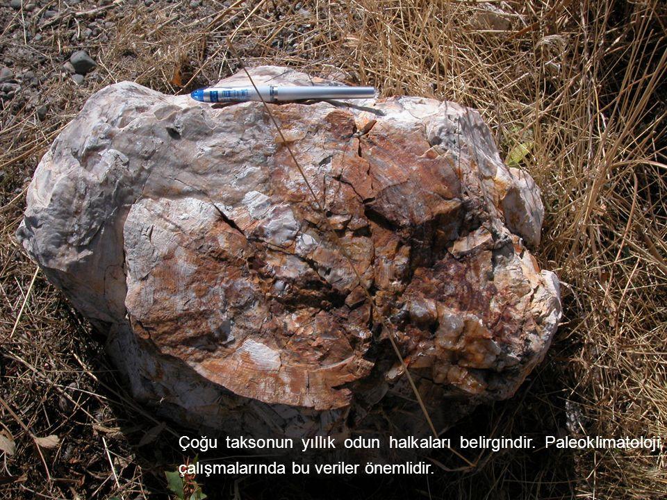 Çoğu taksonun yıllık odun halkaları belirgindir