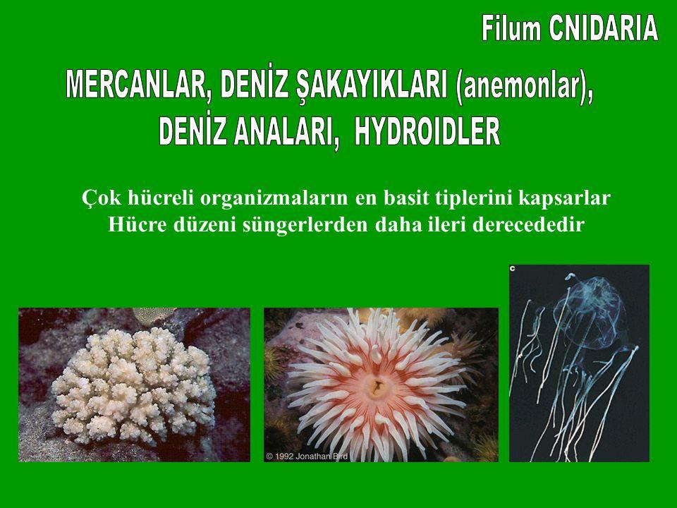 MERCANLAR, DENİZ ŞAKAYIKLARI (anemonlar), DENİZ ANALARI, HYDROIDLER