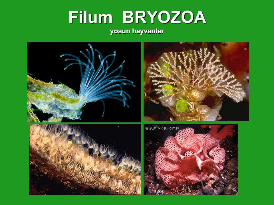 Filum BRYOZOA yosun hayvanlar