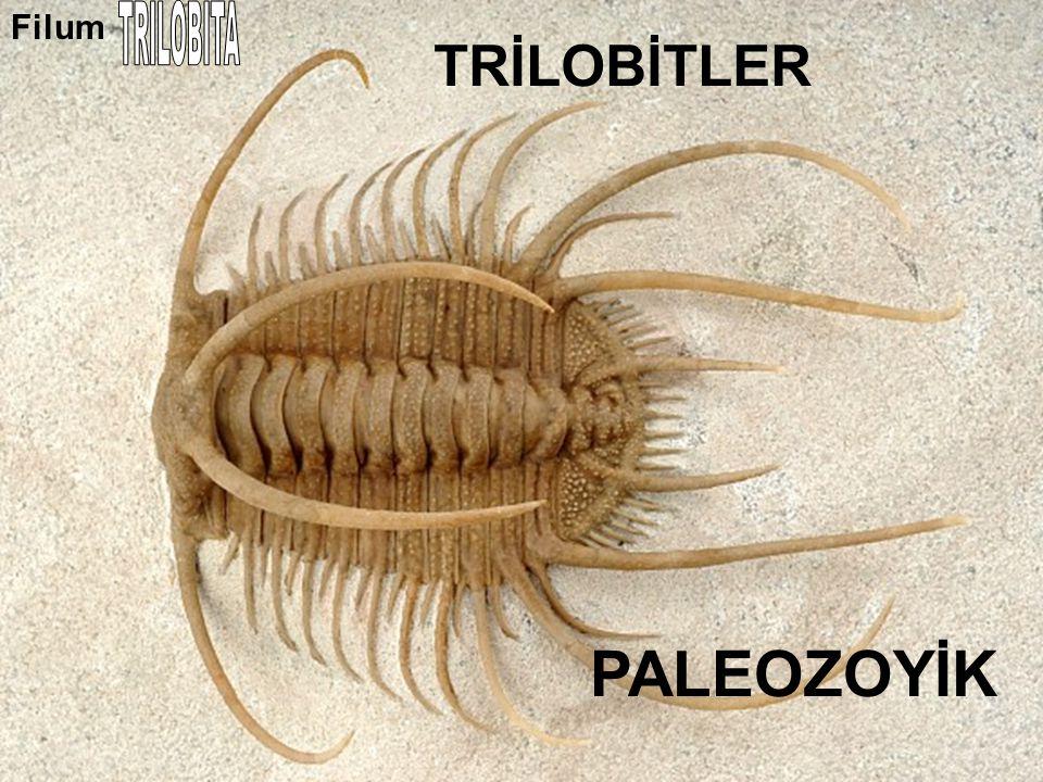 Filum TRILOBITA TRİLOBİTLER PALEOZOYİK