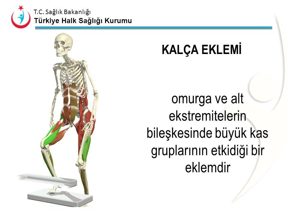 KALÇA EKLEMİ omurga ve alt ekstremitelerin bileşkesinde büyük kas gruplarının etkidiği bir eklemdir