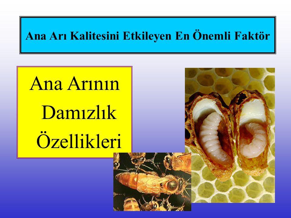 Ana Arı Kalitesini Etkileyen En Önemli Faktör