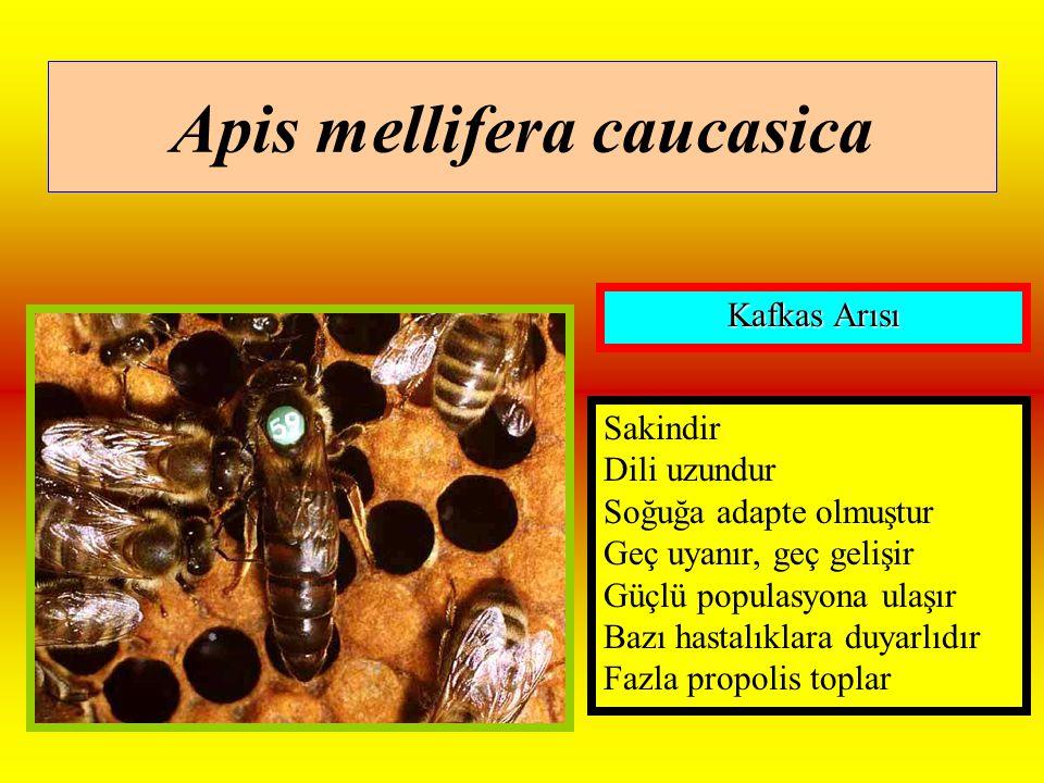 Apis mellifera caucasica