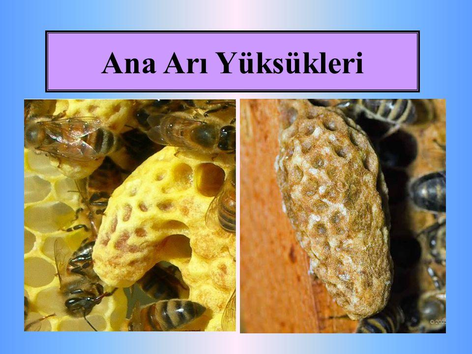 Ana Arı Yüksükleri