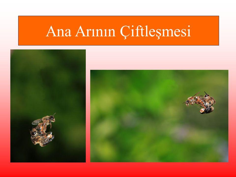 Ana Arının Çiftleşmesi