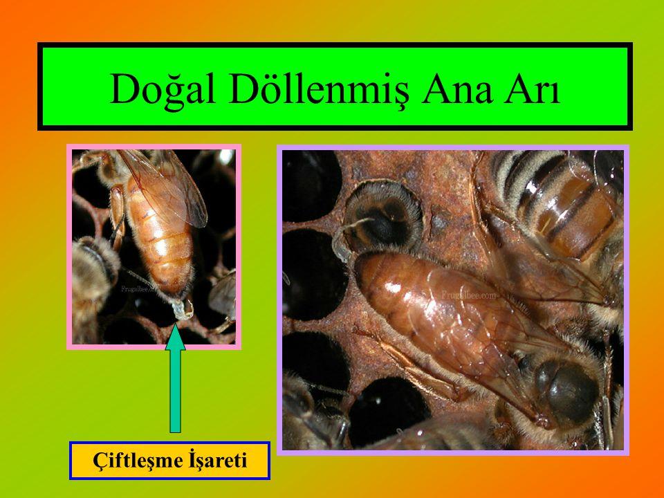 Doğal Döllenmiş Ana Arı
