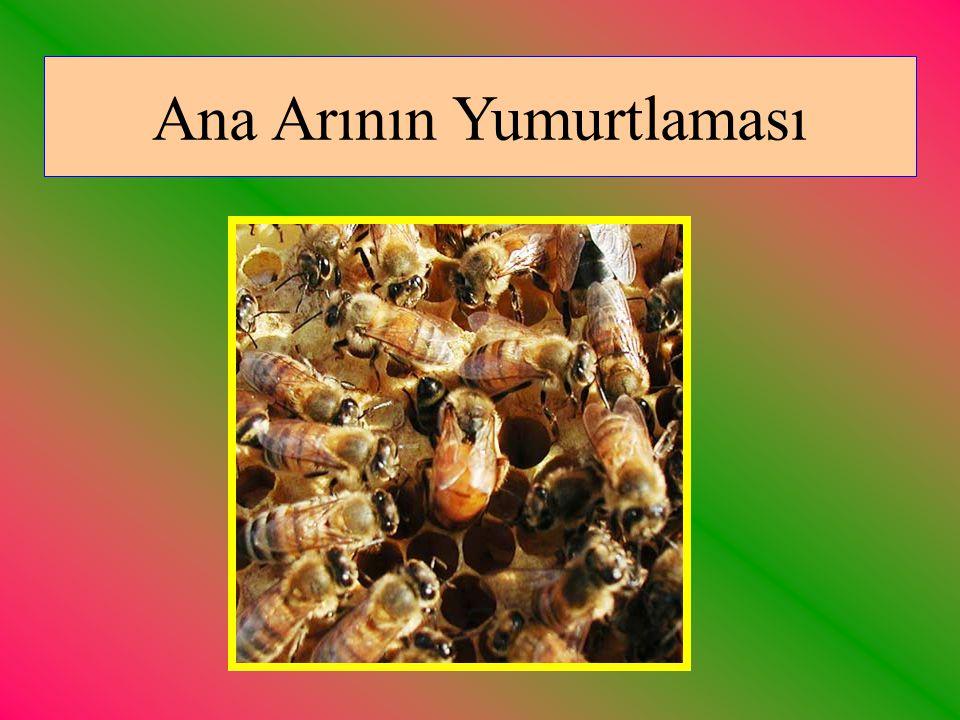 Ana Arının Yumurtlaması