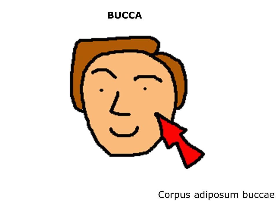 BUCCA Corpus adiposum buccae