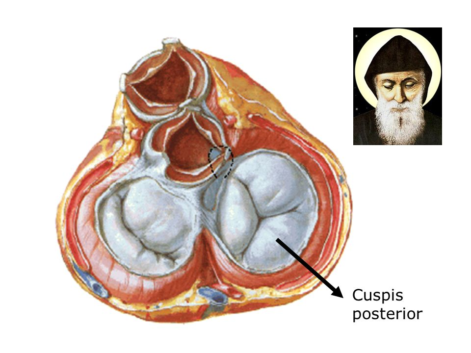 Cuspis posterior