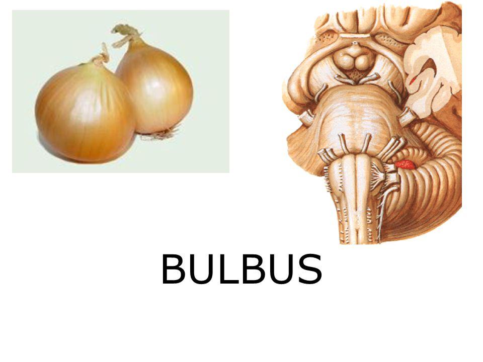 BULBUS
