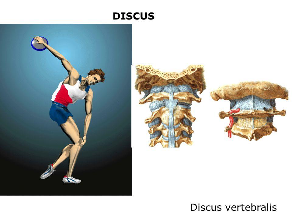 DISCUS Discus vertebralis