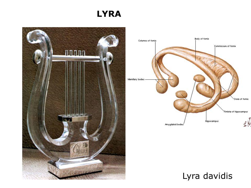 LYRA Lyra davidis
