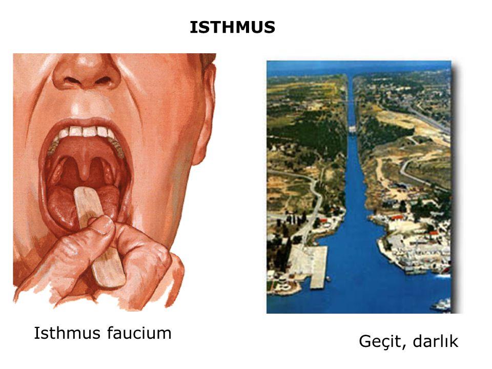 ISTHMUS Isthmus faucium Geçit, darlık