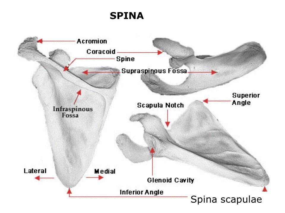 SPINA Spina scapulae