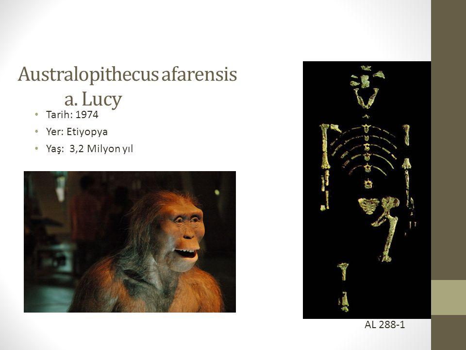 Australopithecus afarensis a. Lucy