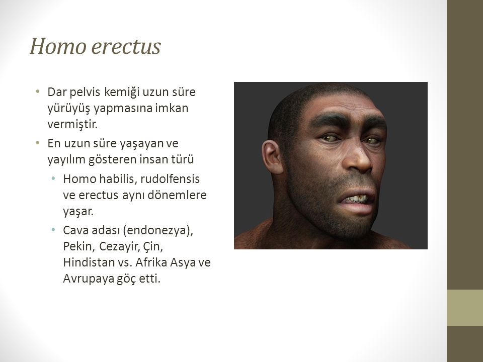 Homo erectus Dar pelvis kemiği uzun süre yürüyüş yapmasına imkan vermiştir. En uzun süre yaşayan ve yayılım gösteren insan türü.