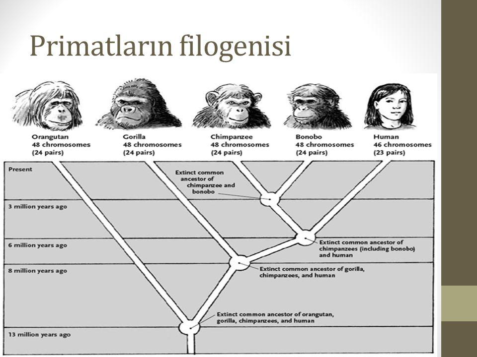 Primatların filogenisi