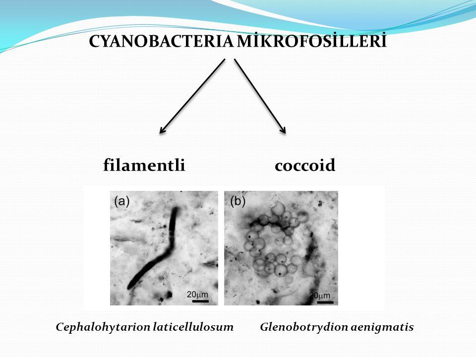 CYANOBACTERIA MİKROFOSİLLERİ filamentli coccoid