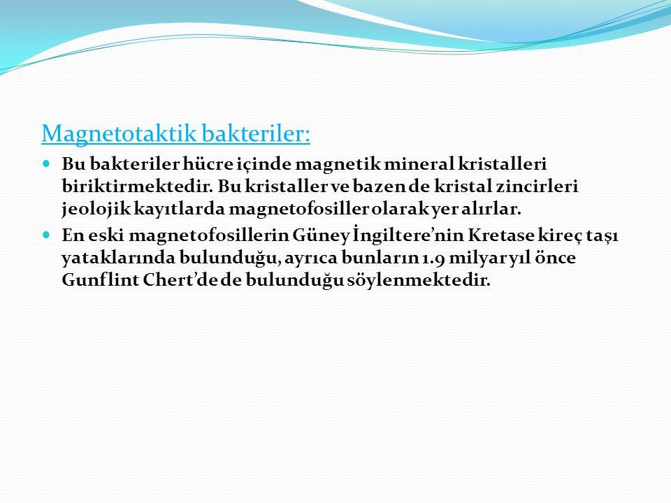 Magnetotaktik bakteriler: