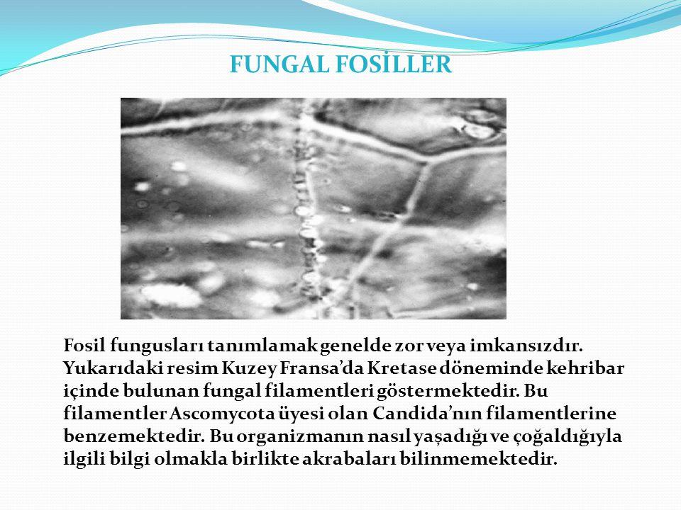 FUNGAL FOSİLLER Fosil fungusları tanımlamak genelde zor veya imkansızdır.