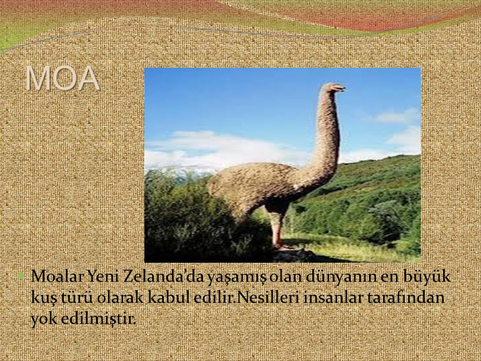 MOA Moalar Yeni Zelanda'da yaşamış olan dünyanın en büyük kuş türü olarak kabul edilir.Nesilleri insanlar tarafından yok edilmiştir.