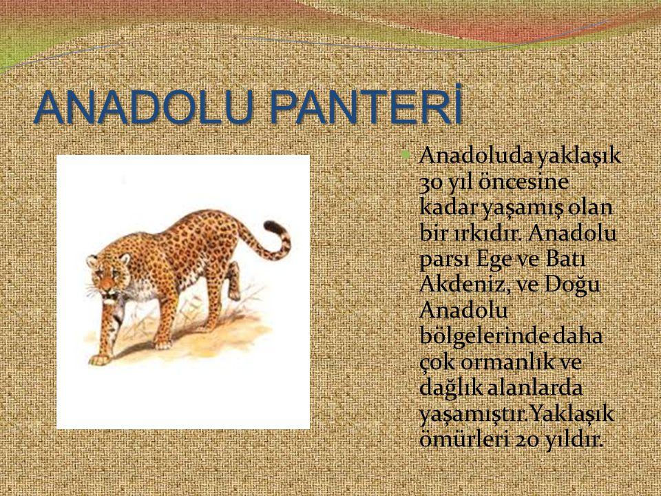 ANADOLU PANTERİ