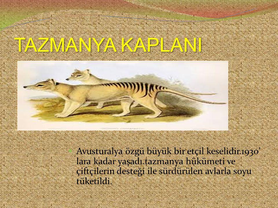 TAZMANYA KAPLANI