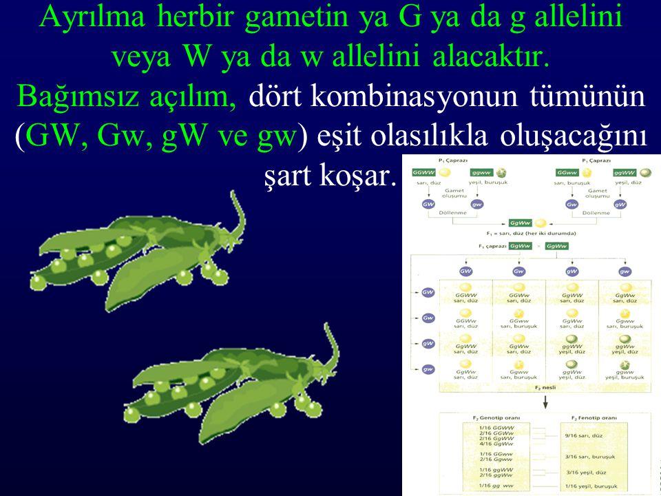 Ayrılma herbir gametin ya G ya da g allelini veya W ya da w allelini alacaktır.