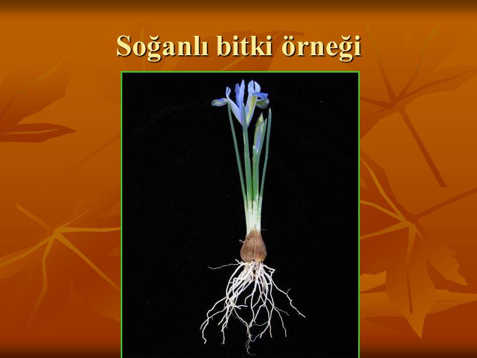 Soğanlı bitki örneği
