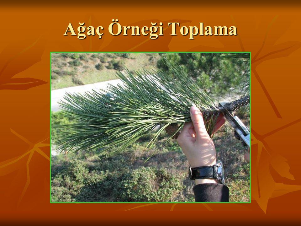 Ağaç Örneği Toplama