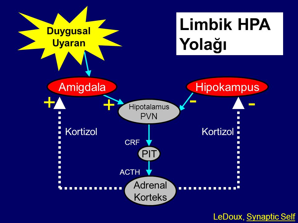 - + - + Limbik HPA Yolağı Amigdala Hipokampus Duygusal Uyaran Kortizol