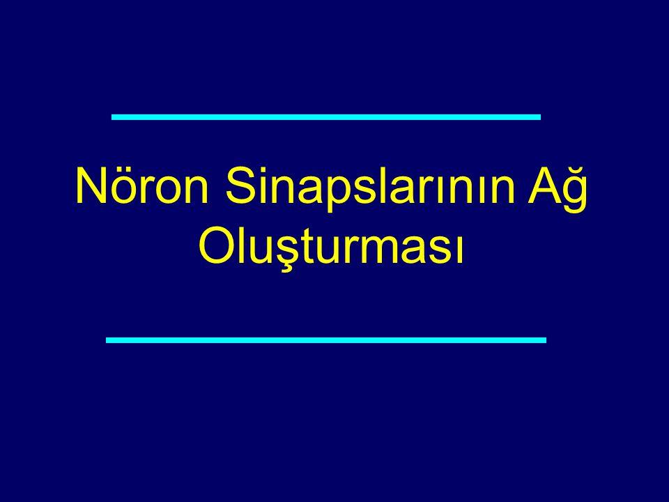 Nöron Sinapslarının Ağ Oluşturması