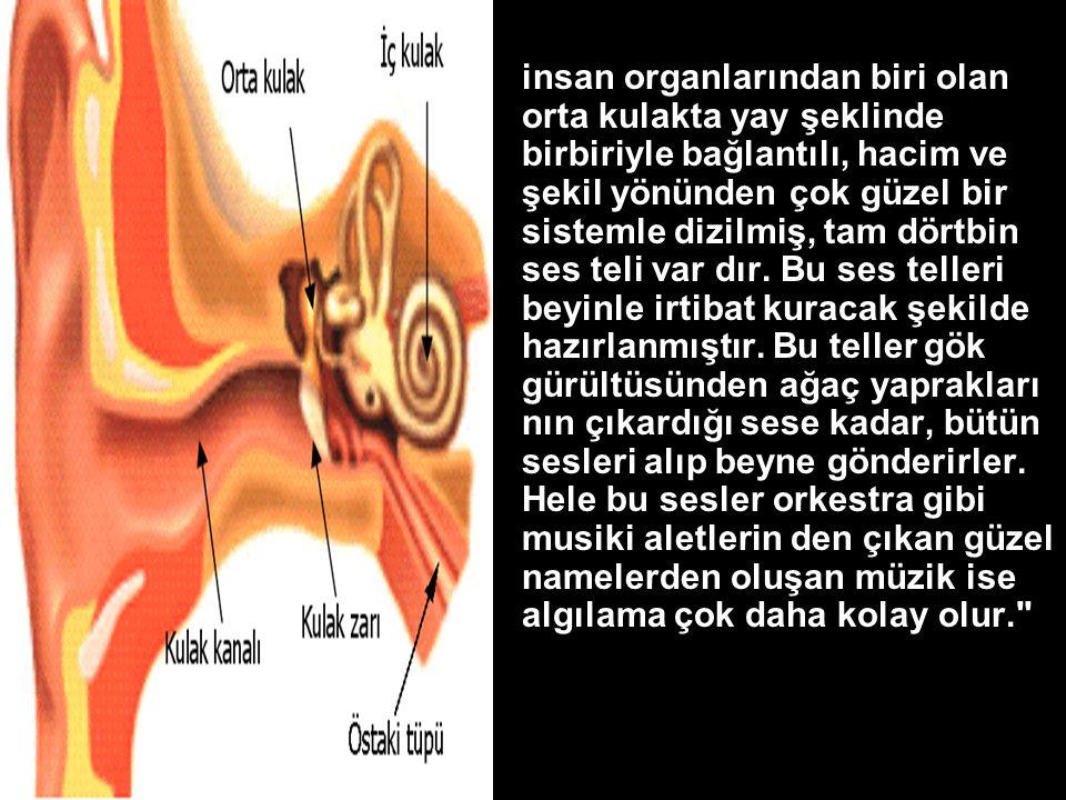insan organlarından biri olan orta kulakta yay şeklinde birbiriyle bağlantılı, hacim ve şekil yönünden çok güzel bir sistemle dizilmiş, tam dörtbin ses teli var dır.