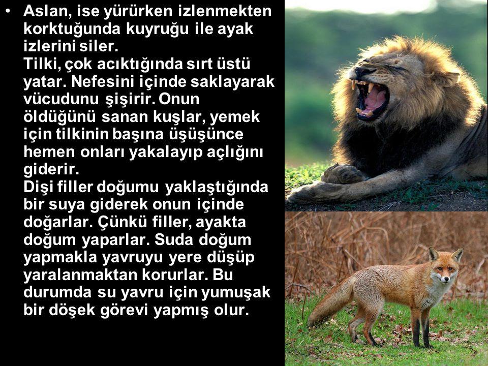 Aslan, ise yürürken izlenmekten korktuğunda kuyruğu ile ayak izlerini siler.