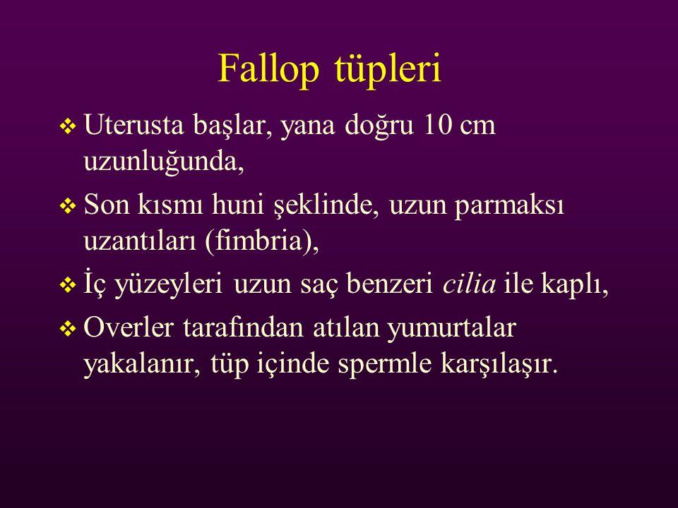 Fallop tüpleri Uterusta başlar, yana doğru 10 cm uzunluğunda,