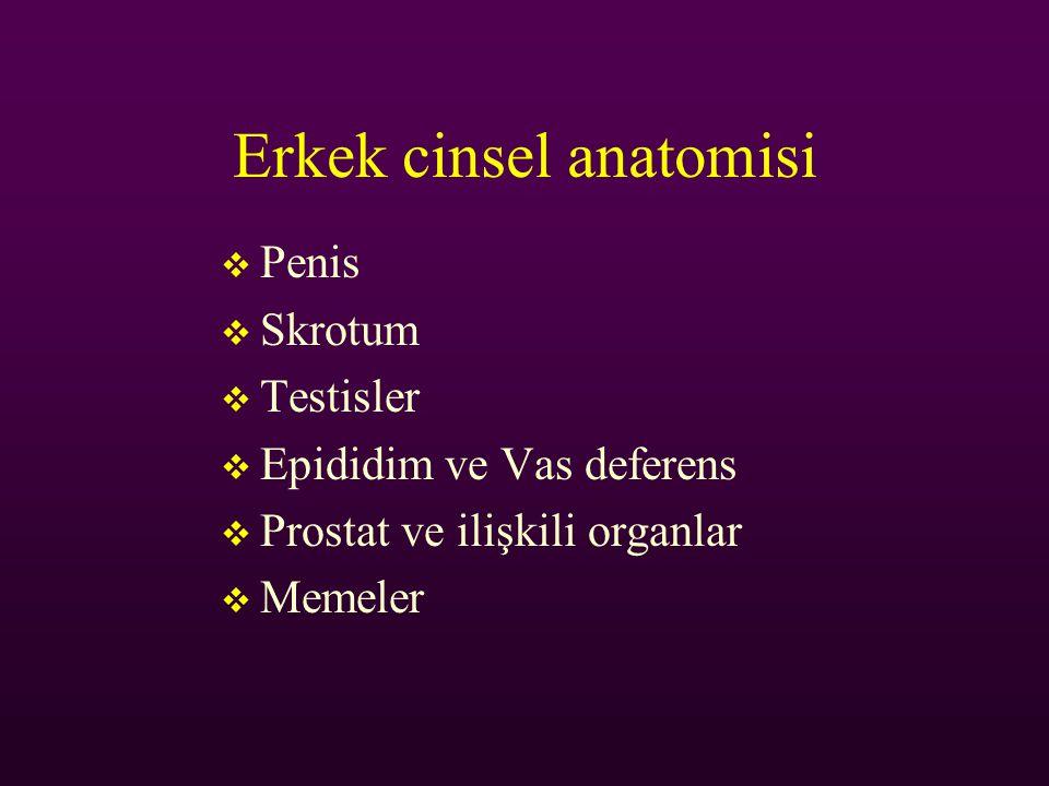 Erkek cinsel anatomisi