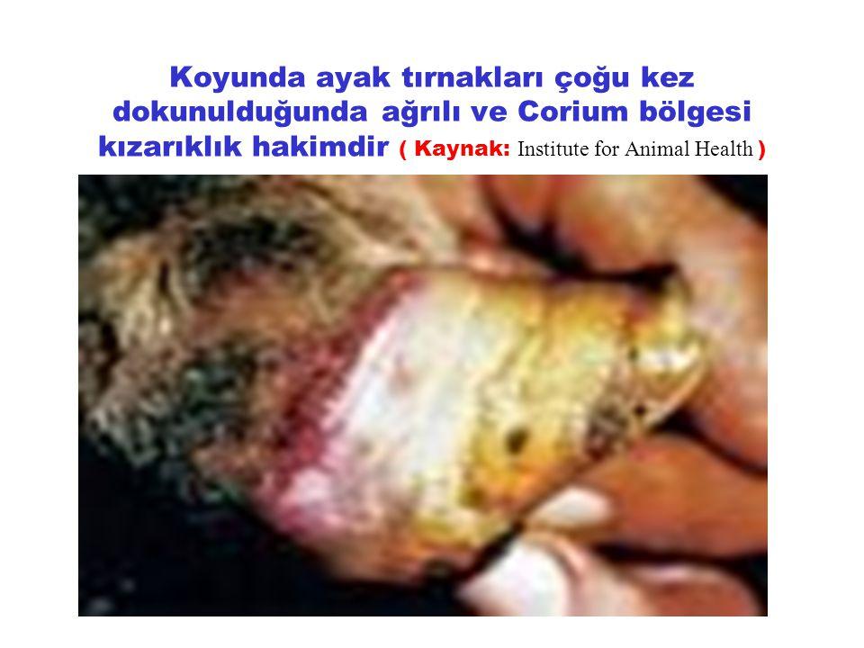 Koyunda ayak tırnakları çoğu kez dokunulduğunda ağrılı ve Corium bölgesi kızarıklık hakimdir ( Kaynak: Institute for Animal Health )