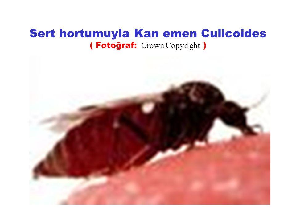 Sert hortumuyla Kan emen Culicoides ( Fotoğraf: Crown Copyright )