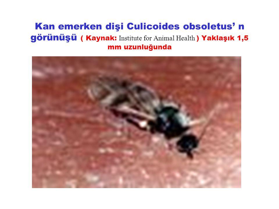 Kan emerken dişi Culicoides obsoletus' n görünüşü ( Kaynak: Institute for Animal Health ) Yaklaşık 1,5 mm uzunluğunda