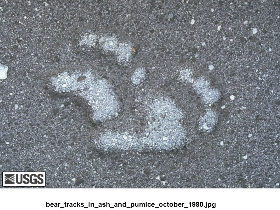 bear_tracks_in_ash_and_pumice_october_1980.jpg
