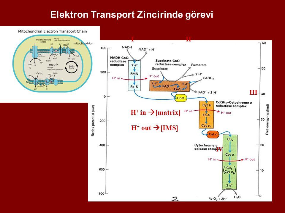 Elektron Transport Zincirinde görevi
