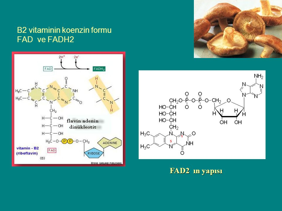 B2 vitaminin koenzin formu FAD ve FADH2