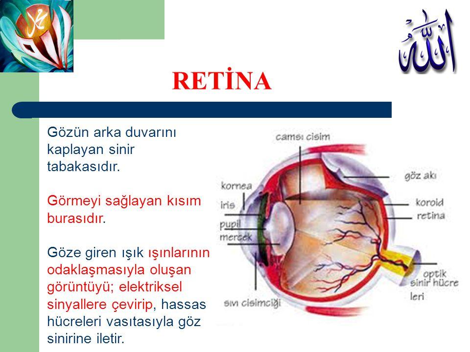 RETİNA Gözün arka duvarını kaplayan sinir tabakasıdır.