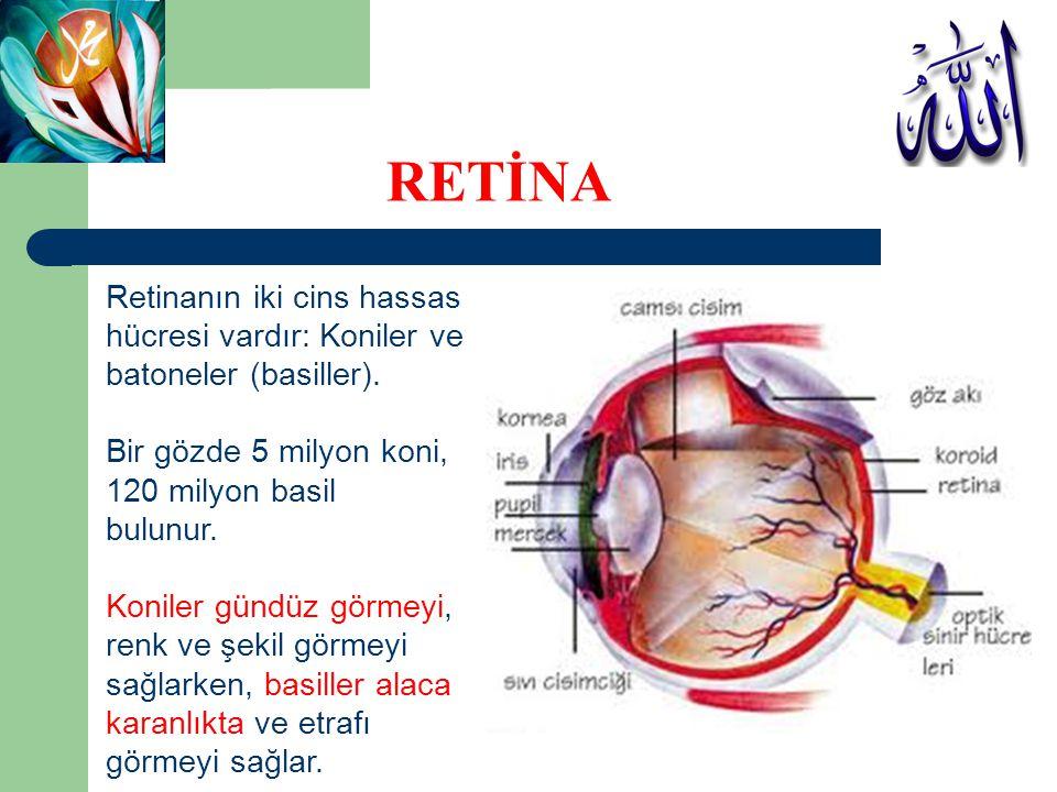 RETİNA Retinanın iki cins hassas hücresi vardır: Koniler ve